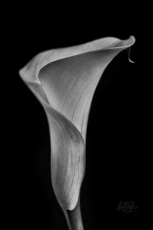 calla lily bw